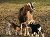 На 5,5% увеличилось поголовье овец и коз в Нижегородской области