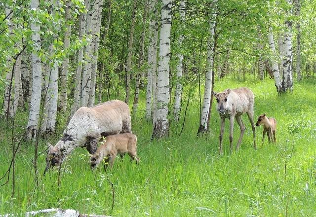 Пять оленят родились в Керженском заповеднике - фото 2