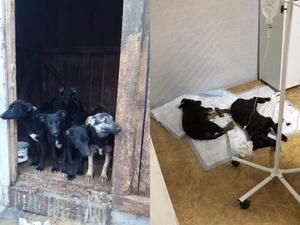Новый концлагерь для собак обнаружили волонтеры в Нижегородской области